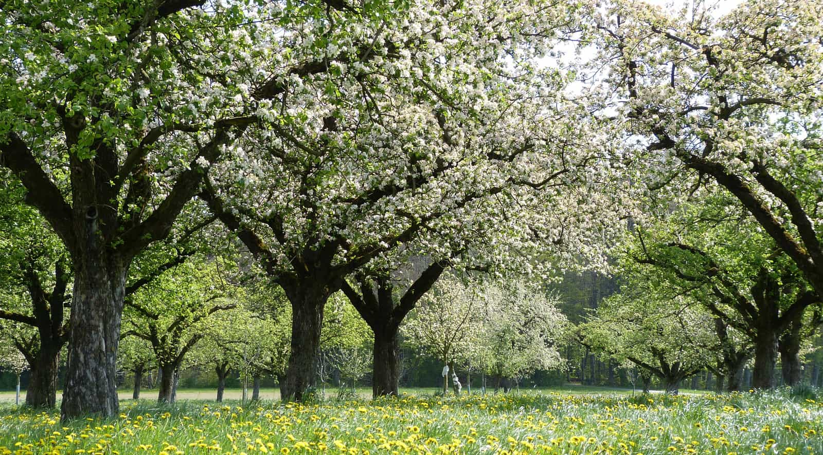 Blühende Apfelbäume in Altnau